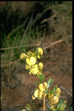APII jpeg image of Dodonaea coriacea  © contact APII
