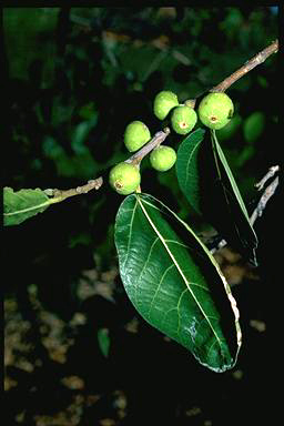 APII jpeg image of Ficus opposita  © contact APII