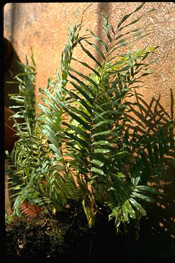 APII jpeg image of Nephrolepis biserrata  © contact APII