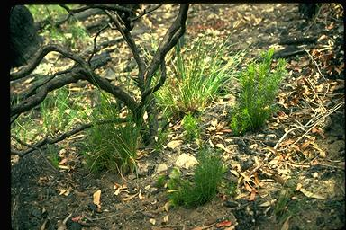 APII jpeg image of Hakea sericea  © contact APII