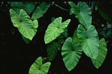 APII jpeg image of Colocasia esculenta 'Fontanesii'  © contact APII