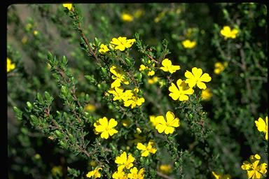 APII jpeg image of Hibbertia stricta  © contact APII