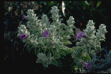 APII jpeg image of Eremophila warnesii  © contact APII