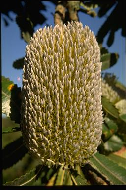 APII jpeg image of Banksia serrata  © contact APII