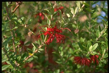 APII jpeg image of Grevillea speciosa  © contact APII