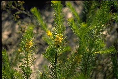 APII jpeg image of Persoonia isophylla  © contact APII