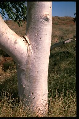 APII jpeg image of Corymbia aspera  © contact APII
