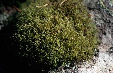 APII jpeg image of Cladia aggregata  © contact APII