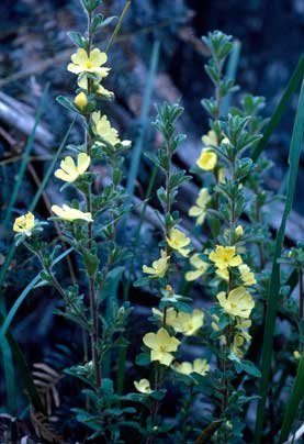 APII jpeg image of Hibbertia sp. nov.  © contact APII