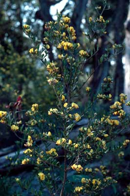 APII jpeg image of Pultenaea cuneata  © contact APII