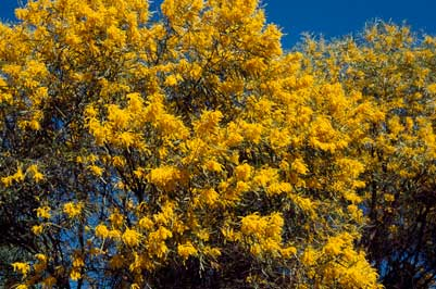 APII jpeg image of Acacia torulosa  © contact APII