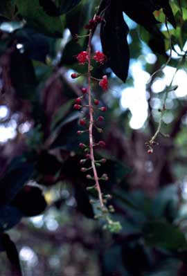 APII jpeg image of Barringtonia acutangula subsp. acutangula  © contact APII