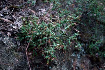 APII jpeg image of Epacris reclinata  © contact APII