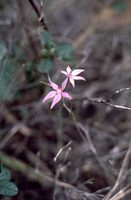 APII jpeg image of Caladenia latifolia  © contact APII