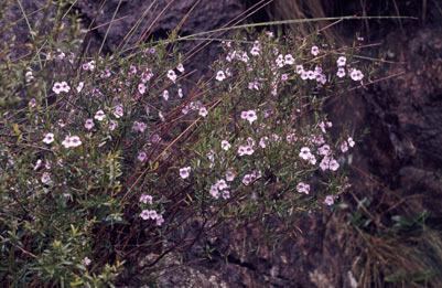 APII jpeg image of Prostanthera linearis  © contact APII