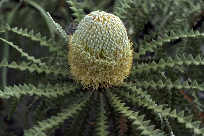 APII jpeg image of Banksia speciosa  © contact APII