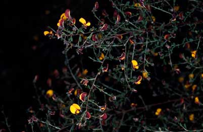APII jpeg image of Pultenaea ochreata  © contact APII