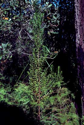 APII jpeg image of Haloragodendron lucasii  © contact APII