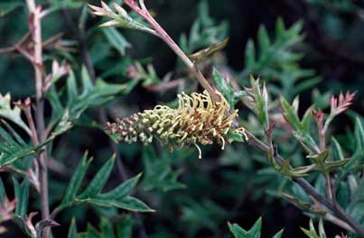 APII jpeg image of Grevillea willisii  © contact APII