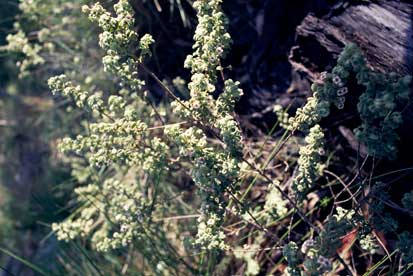 APII jpeg image of Zieria baeuerlenii  © contact APII