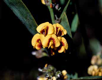 APII jpeg image of Daviesia laevis  © contact APII
