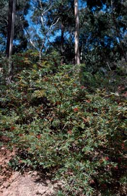 APII jpeg image of Grevillea montis-cole subsp. montis-cole  © contact APII