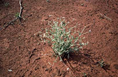 APII jpeg image of Ptilotus obovatus  © contact APII