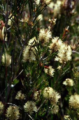 APII jpeg image of Callistemon pityoides  © contact APII
