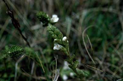 APII jpeg image of Euphrasia collina subsp. paludosa  © contact APII