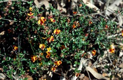 APII jpeg image of Mirbelia ovata  © contact APII