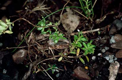 APII jpeg image of Rhytidosporum alpinum  © contact APII