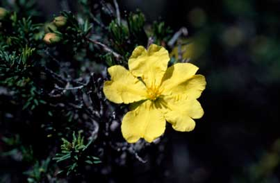 APII jpeg image of Hibbertia serpyllifolia  © contact APII
