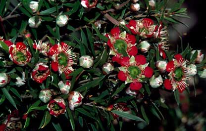 APII jpeg image of Leptospermum spectabile  © contact APII