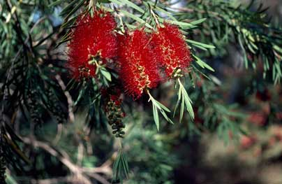 APII jpeg image of Callistemon viminalis  © contact APII