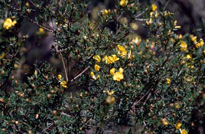 APII jpeg image of Pultenaea benthamii  © contact APII