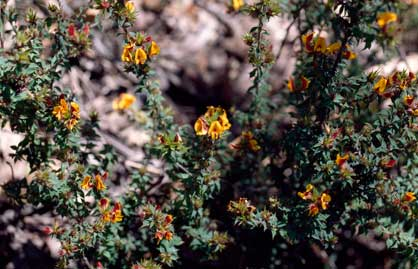 APII jpeg image of Pultenaea costata  © contact APII