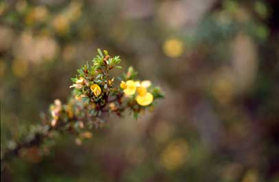 APII jpeg image of Pultenaea hispidula  © contact APII
