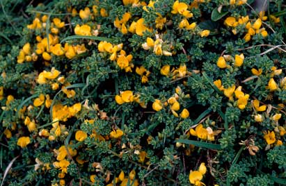 APII jpeg image of Pultenaea maritima  © contact APII
