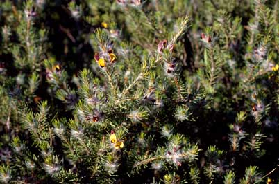 APII jpeg image of Pultenaea penna  © contact APII