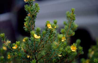 APII jpeg image of Pultenaea rostrata  © contact APII
