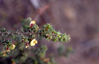 APII jpeg image of Pultenaea trifida  © contact APII