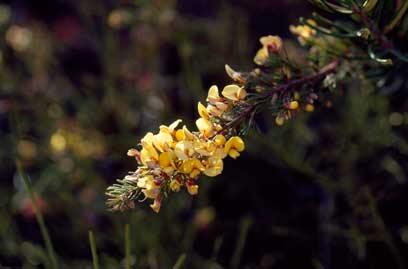 APII jpeg image of Pultenaea viscidula  © contact APII