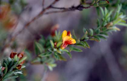 APII jpeg image of Pultenaea vrolandii  © contact APII