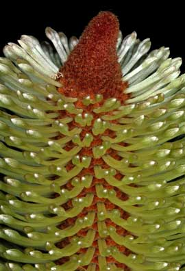 APII jpeg image of Banksia penicillata  © contact APII