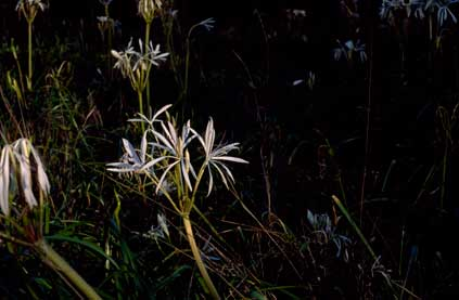 APII jpeg image of Crinum angustifolium  © contact APII