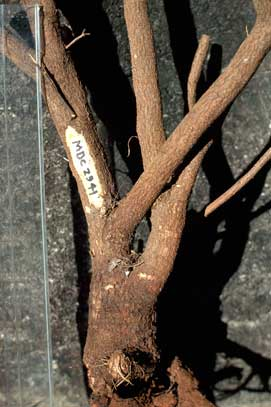 APII jpeg image of Daviesia discolor  © contact APII