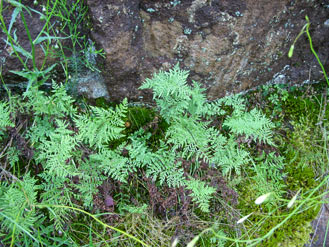 APII jpeg image of Cheilanthes sieberi  © contact APII