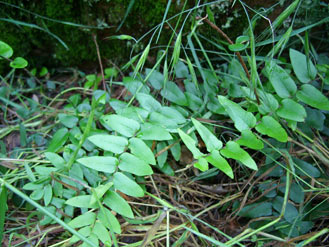 APII jpeg image of Pellaea falcata  © contact APII
