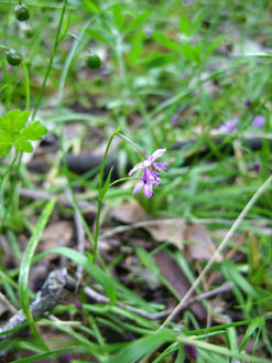 APII jpeg image of Arthropodium minus  © contact APII