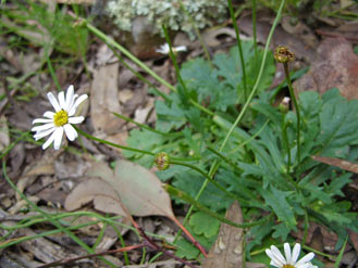 APII jpeg image of Brachyscome willisii  © contact APII